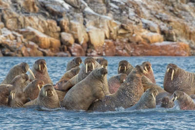 Walrus Family Reunion
