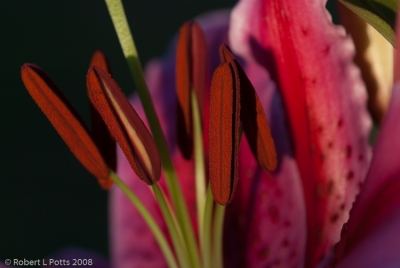 Oriental Lily Anthers