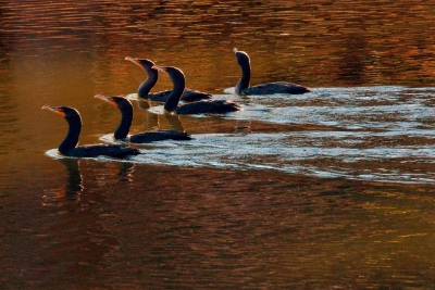 Cormorant Swim Team