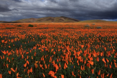 California Candy Fields