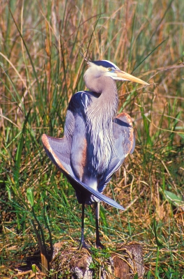 Great Blue Heron #8