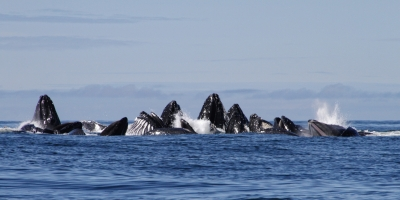 Whales Bubble Feeding Off Of Prince Of Wale Island