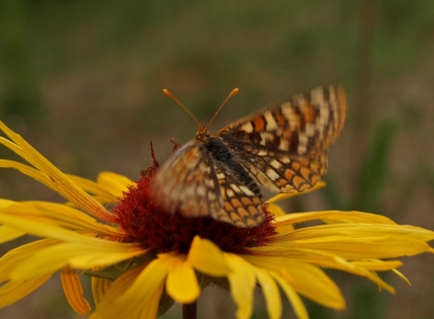 The Checkerspot Butterfly & The Blanket Flower