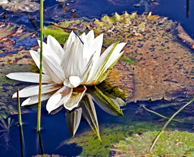 Water Lilly With Dragon Fly