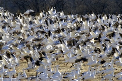 Snow Geese Migration At Middle Creek Preserve