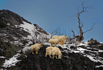 Mountain Goat Feed