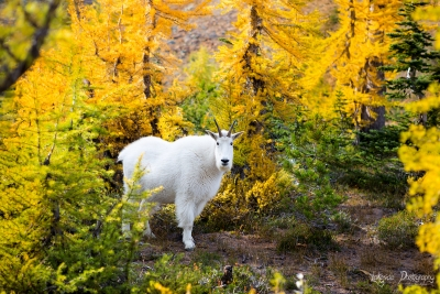 Mountain Goat Among The Larches