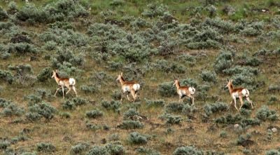 Pronghorn On The Move