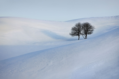 Solitary Trees And Snowy Hillside