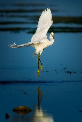 Snowy Egret Dancing On Air