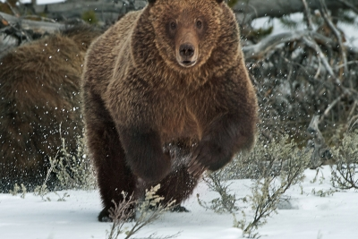 Charging Grizzly Bear
