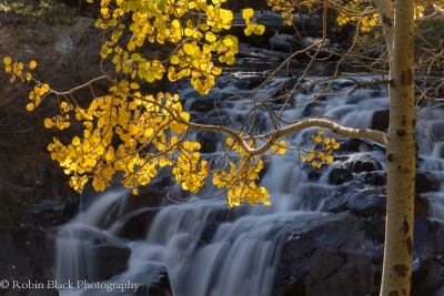 Backlit Aspen At Lee Vining Cascades (eastern Sierra)