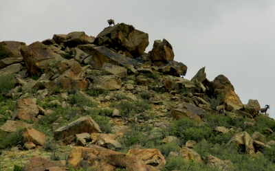 How Many Bighorns Do You See?