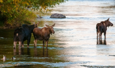 Three Moose In River