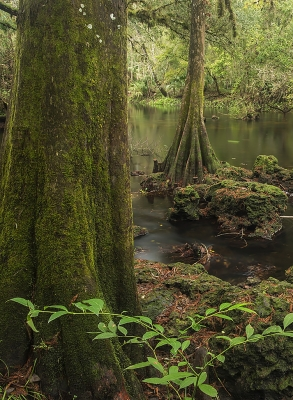 Hillsborough River Cypress