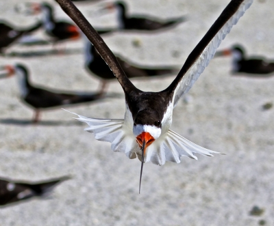 Buzzed By A Black Skimmer