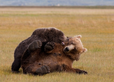 Brown Bear Sow And Cub In Katmai Np 3