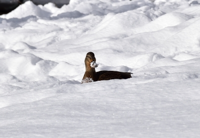 Duck In The Snow