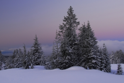 Snow-covered Evergreens At First Light
