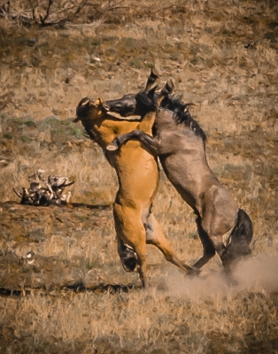 Wild Kiger Mustangs Fighting Over Mares