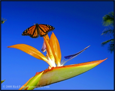 Butterfly On Bird Of Paradise