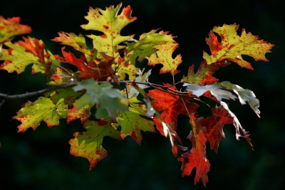 Oak Leaves Turn