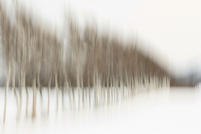 Abstract Birch Trees