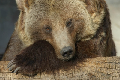 Grizzly Posed