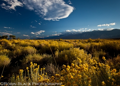 Evening Light On Rabbit Brush, Owens Valley