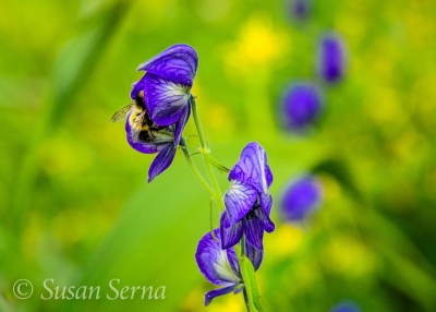 Bee In Monkshood