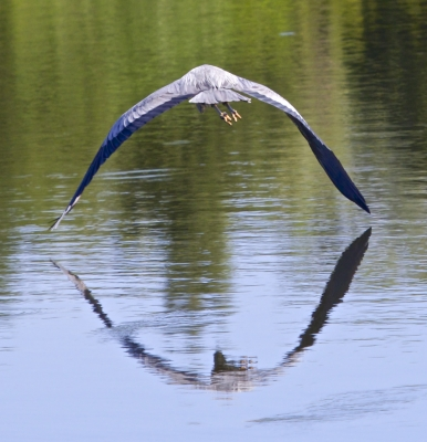 Reflected Great Blue Heron On Flight