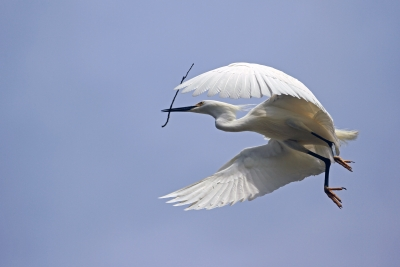 Nest Building Egret