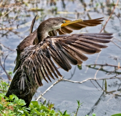 Cormorant Wing Flapping Session