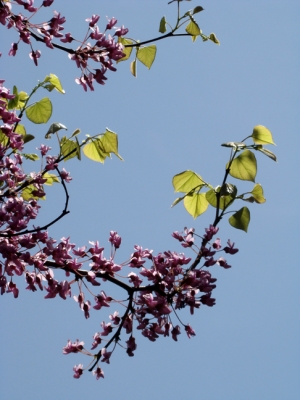 Redbud Leaves Spring