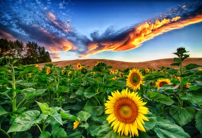 Sunflowers On The Palouse
