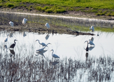 White Herons Fishing In The Morning