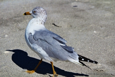 Full Body Of Herring Gull