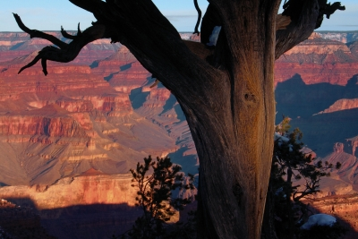 Rim Tree Looking Over The Canyon