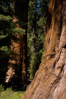 Base Of Sequoia