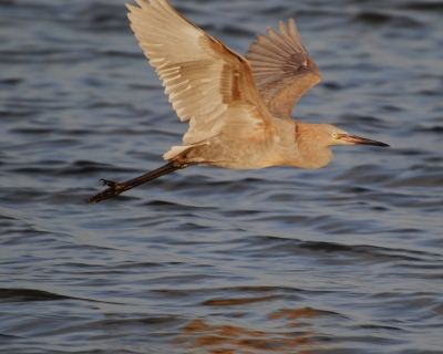 Winter Reddish Egret In Flight