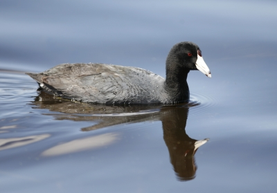 American Coot (fulica Americana) At Montezuma National Wildlife Refuge, Ny – #2