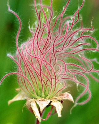 Colorful Seed Head