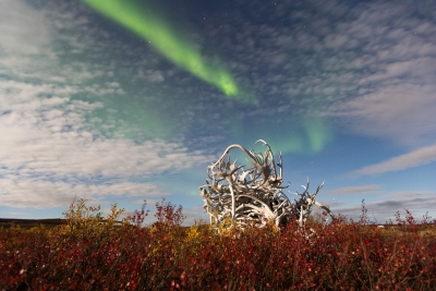 Aurora Over Caribou Antlers