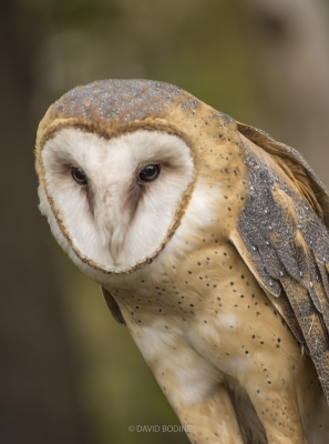 Mr Barn Owl