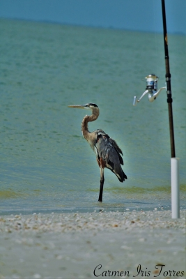 Tri Colored Heron Fishing