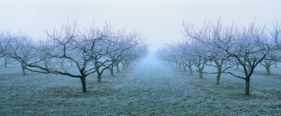 Frosted Fruit Orchard