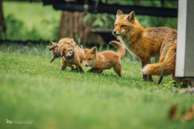 Adult Fox With Two Kits