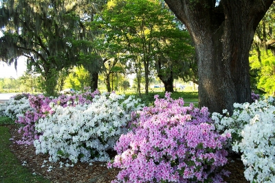 Array Of Azaleas