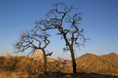 Burned Trees At Dawn, Mid-hills, East Mojave, California