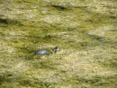 Red Bellied Turtle In A Pond